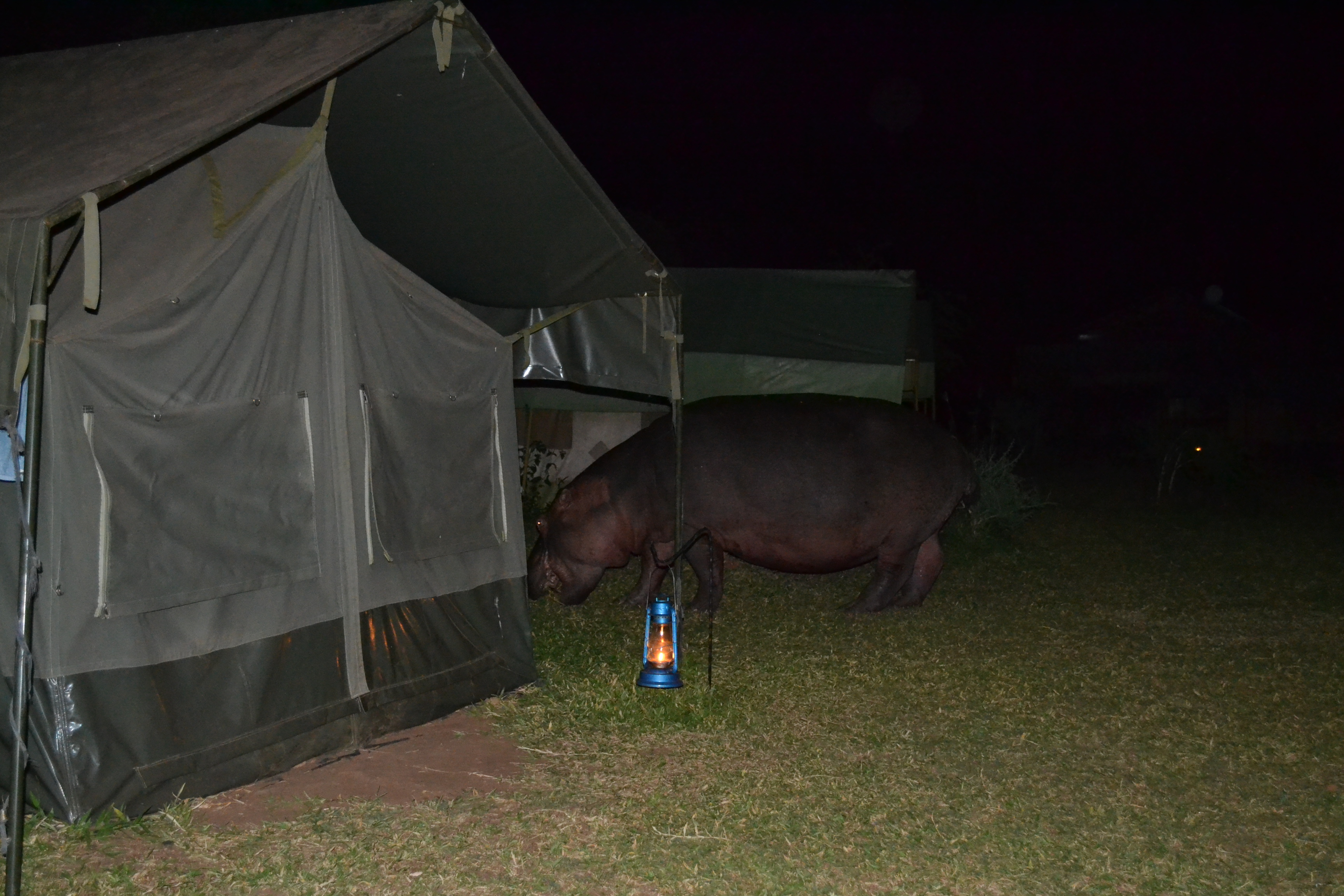 A hippo grazing next to the tent